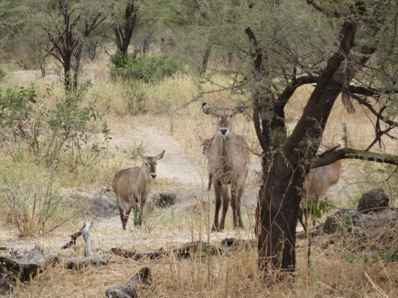 Female impalas watching
